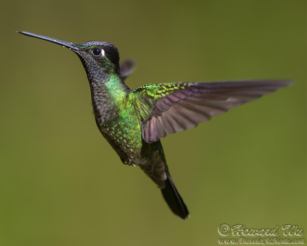 2016 Costa Rica 2: Hummingbirds - Traveler @ Home